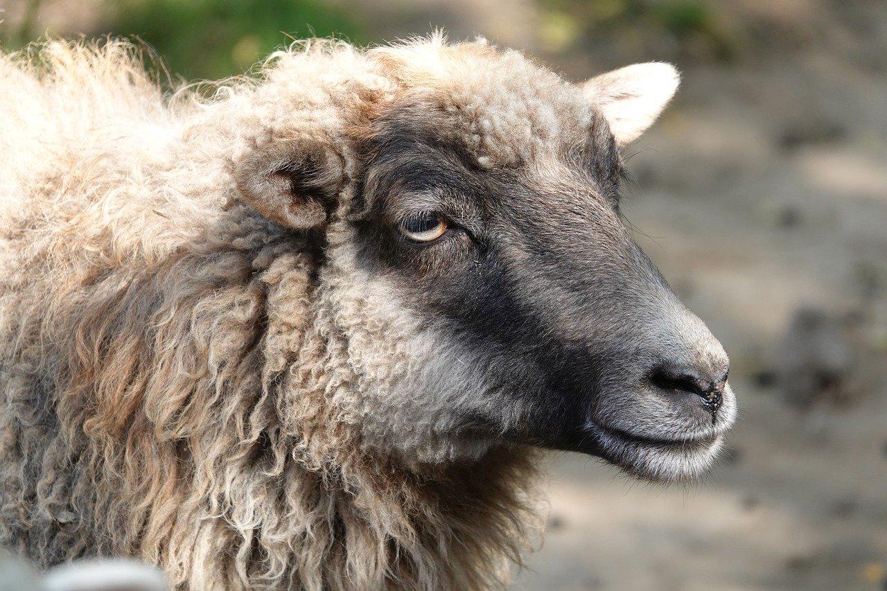 sheep-4050889_1280.jpg