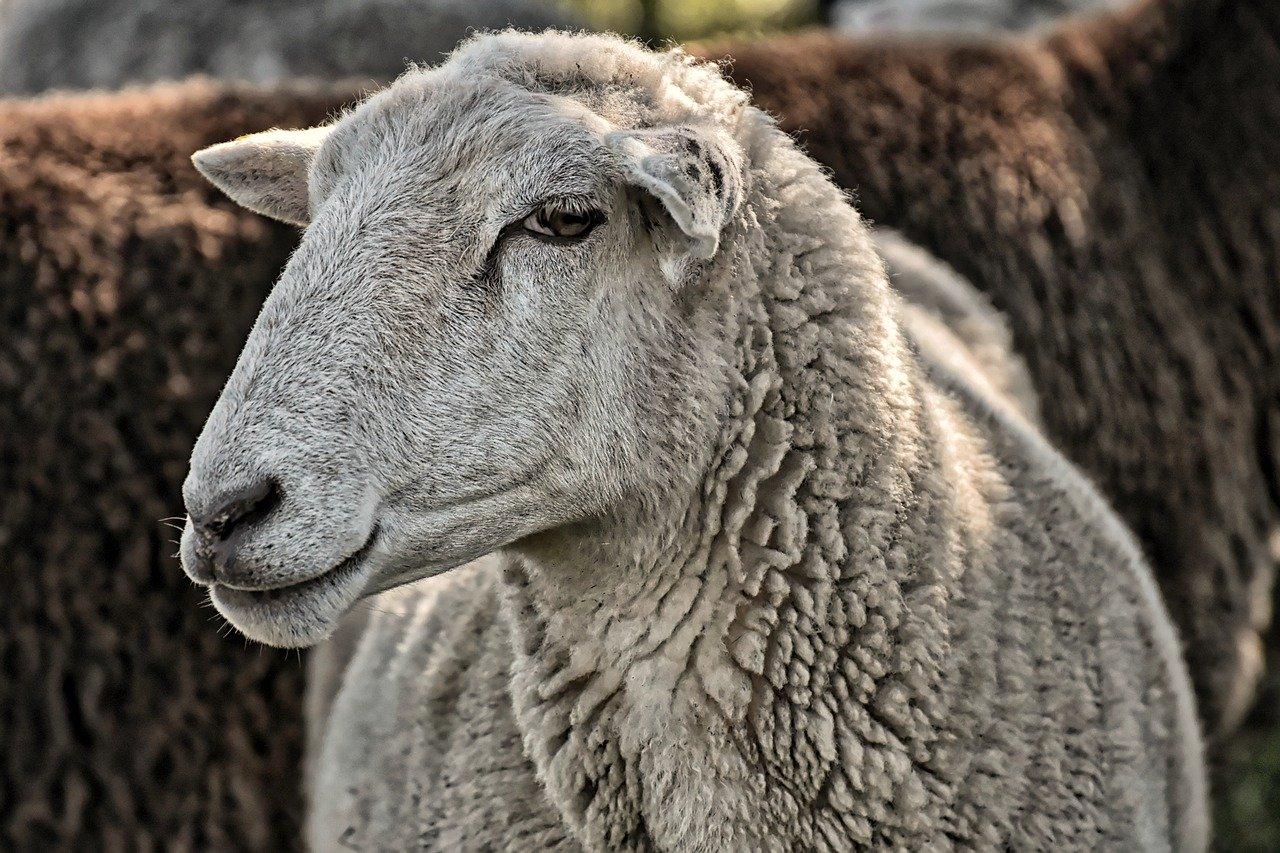 sheep-4499562_1280.jpg