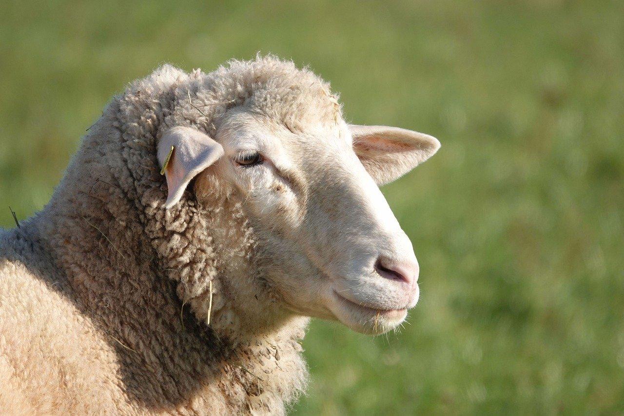 sheep-4673941_1280.jpg